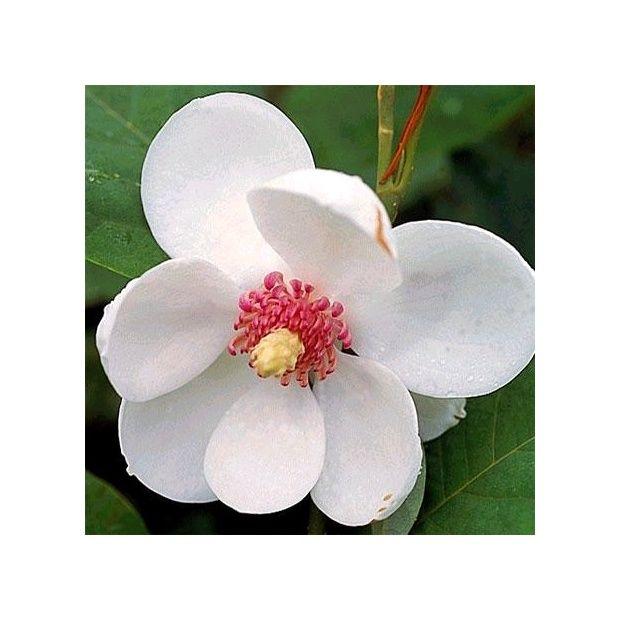 magnolia sieboldii plantes et jardins. Black Bedroom Furniture Sets. Home Design Ideas
