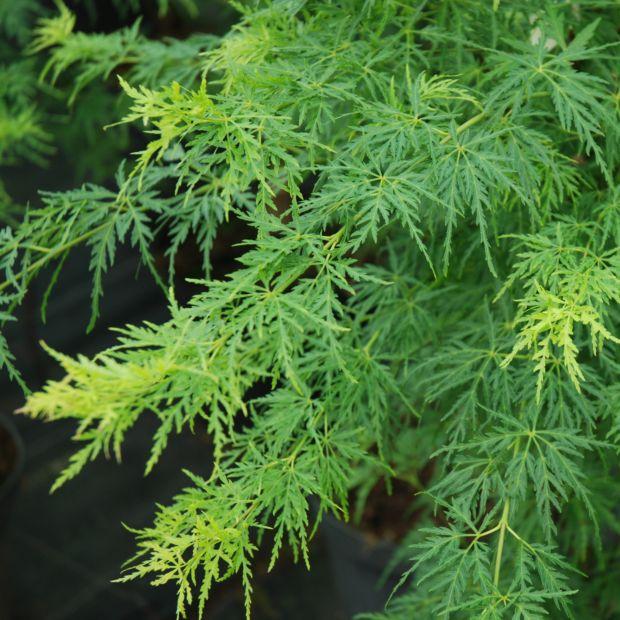 Erable du japon 39 seiryu 39 plantes et jardins - Arbre pour jardin japonais ...