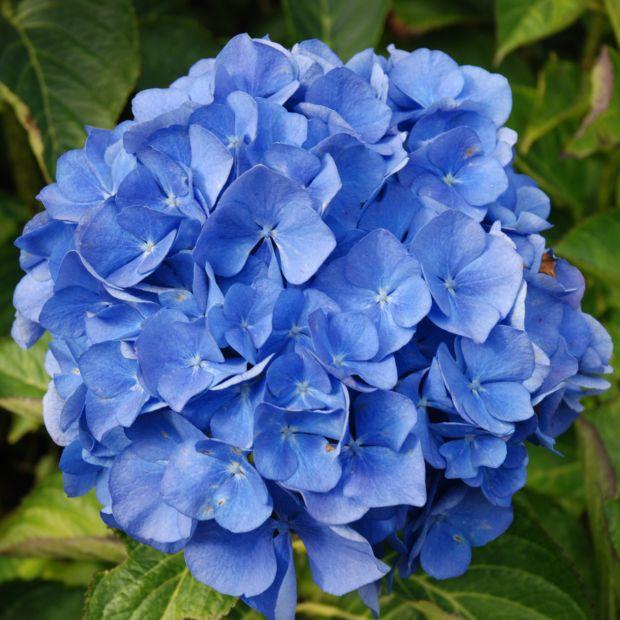 hortensia 39 renate steiniger 39 plantes et jardins. Black Bedroom Furniture Sets. Home Design Ideas