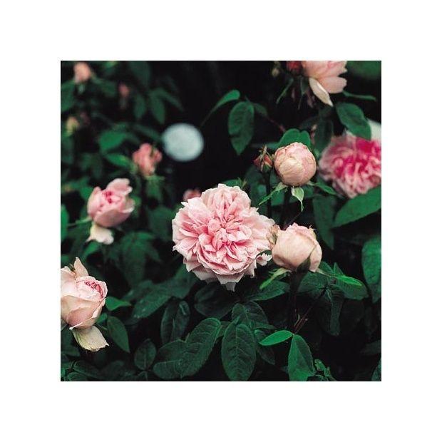 Rosier ancien 39 enfant de france 39 rosier guillot for Rosier jardin de france