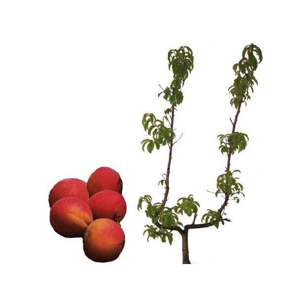 Abricotier 39 bergeron 39 taille en palmette u plantes et for Taille des abricotiers bergeron