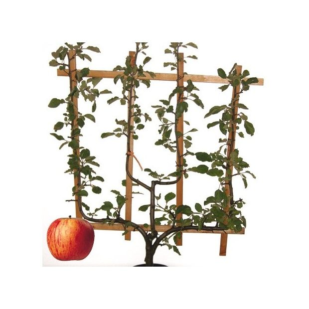 pommier 39 reine des reinettes 39 taille en palmette verrier plantes et jardins. Black Bedroom Furniture Sets. Home Design Ideas