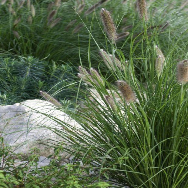 pennisetum alopecuroides little bunny plantes et jardins. Black Bedroom Furniture Sets. Home Design Ideas