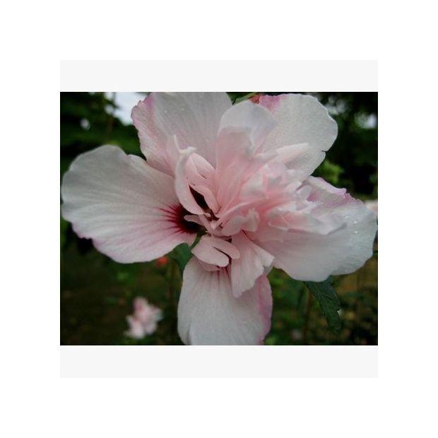 hibiscus syriacus 39 salima 39 plantes et jardins. Black Bedroom Furniture Sets. Home Design Ideas