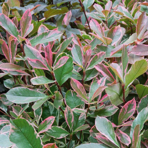 photinia 39 pink marble cassini 39 plantes et jardins. Black Bedroom Furniture Sets. Home Design Ideas