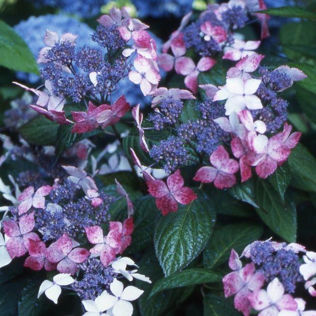 hortensia 39 grayswood 39 collection 1900 plantes et jardins. Black Bedroom Furniture Sets. Home Design Ideas