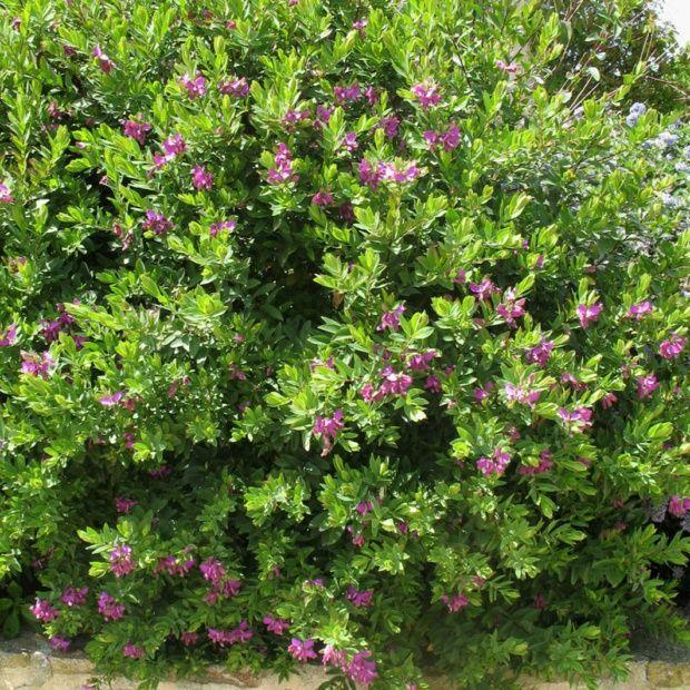 Polygala myrtifolia plantes et jardins for Arbre exotique exterieur