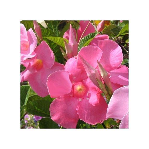 dipladenia sundaville rose plantes et jardins. Black Bedroom Furniture Sets. Home Design Ideas