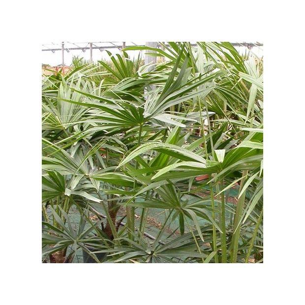 Livistona palmier ventail plantes et jardins for Plante palmier