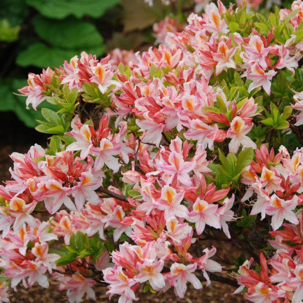Azal e de chine 39 delicatissima 39 plantes et jardins for Buisson synthetique