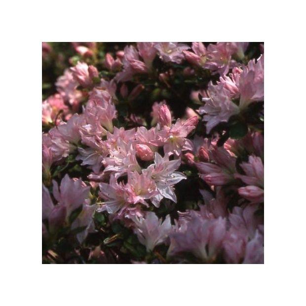 Azal e japonaise 39 azuma kagami 39 plantes et jardins for Cerisier nain garden bing