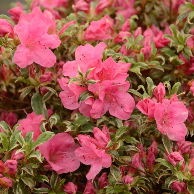 Azal e japonaise 39 silver queen 39 plantes et jardins for Plante japonaise exterieur