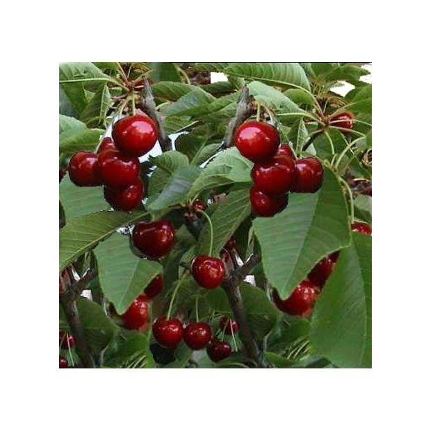 cerisier 39 reverchon 39 taille en gobelet en pot plantes. Black Bedroom Furniture Sets. Home Design Ideas