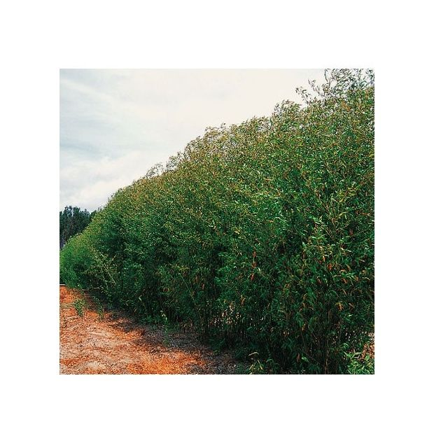 bambou moyen phyllostachys rubromarginata plantes et jardins. Black Bedroom Furniture Sets. Home Design Ideas