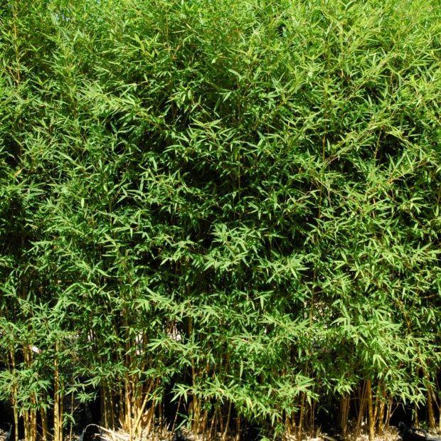 bambou moyen phyllostachys aurea 39 ko 39 plantes et jardins. Black Bedroom Furniture Sets. Home Design Ideas