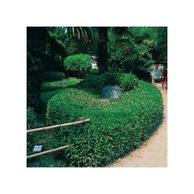 bambou nain shibataea kumasaca lot de 2 plantes et jardins. Black Bedroom Furniture Sets. Home Design Ideas