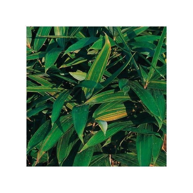 bambou nain sasa masamuneana 39 aureostriata 39 plantes et jardins. Black Bedroom Furniture Sets. Home Design Ideas
