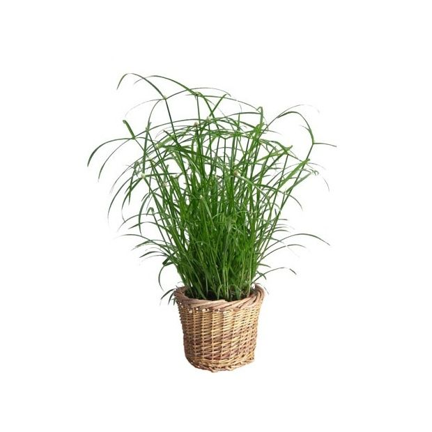 papyrus 39 snowball 39 cache pot tress plantes et jardins. Black Bedroom Furniture Sets. Home Design Ideas