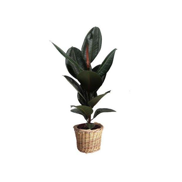 Ficus caoutchouc cache pot tress plantes et jardins for Caoutchouc plante exterieur
