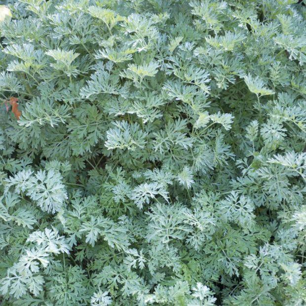 Absinthe plantes et jardins for Plantes aromatiques
