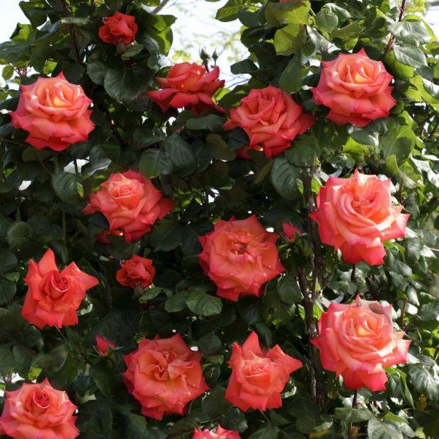 Rosier grimpant 39 christophe colomb 39 meironssesar rosier for Buisson synthetique