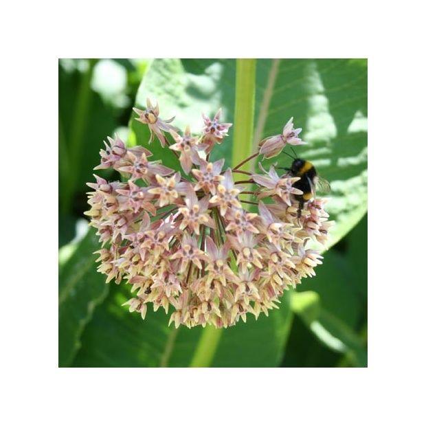 Herbe aux perruches plantes et jardins for Jardin aux plantes