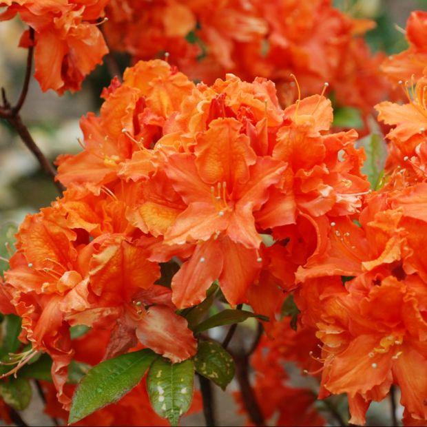 azal e de chine 39 orangeade 39 plantes et jardins. Black Bedroom Furniture Sets. Home Design Ideas