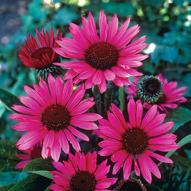 echinacea purpurea fatal attraction plantes et jardins. Black Bedroom Furniture Sets. Home Design Ideas