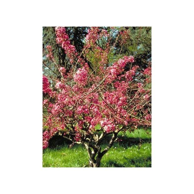 Pommier d 39 ornement 39 courtarou 39 plantes et jardins for Plantes ornement jardin