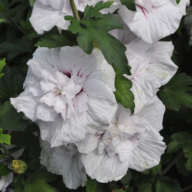 hibiscus syriacus 39 china chiffon 39 plantes et jardins. Black Bedroom Furniture Sets. Home Design Ideas