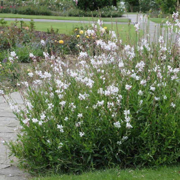gaura lindheimeri blanc plantes et jardins. Black Bedroom Furniture Sets. Home Design Ideas