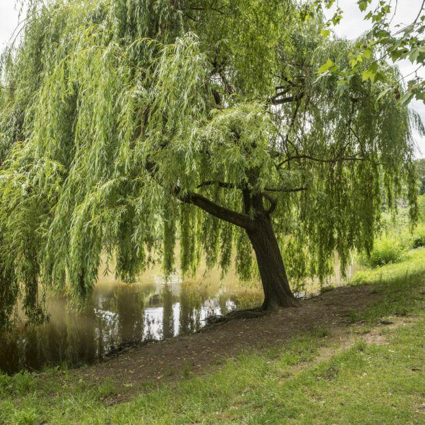 Saule pleureur plantes et jardins for Plantes et jardins adresse