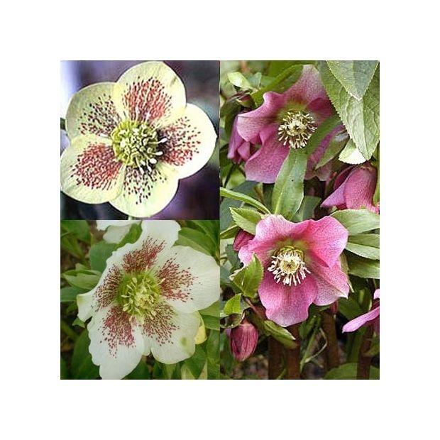 Roses de no l d 39 orient vari es lot de 3 plantes et jardins - Rose de noel en pot ...