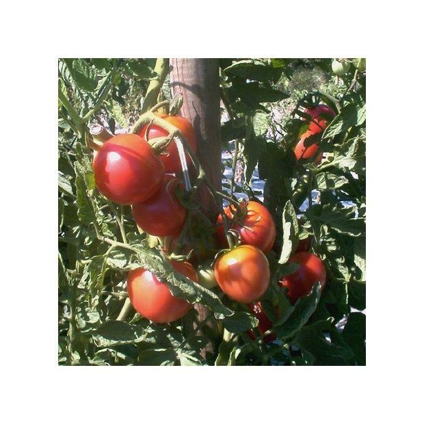 tomate greff e 39 rose de berne 39 39 berner rose 39 plantes et jardins. Black Bedroom Furniture Sets. Home Design Ideas