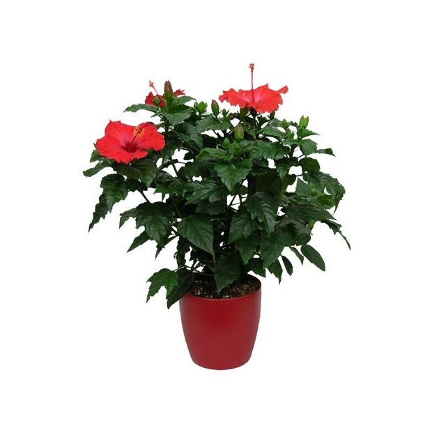 hibiscus rouge hauteur 50 60cm cache pot rouge plantes et jardins. Black Bedroom Furniture Sets. Home Design Ideas
