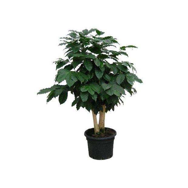 caf ier 2 troncs hauteur 120 130cm pot diam tre 34cm plantes et jardins. Black Bedroom Furniture Sets. Home Design Ideas