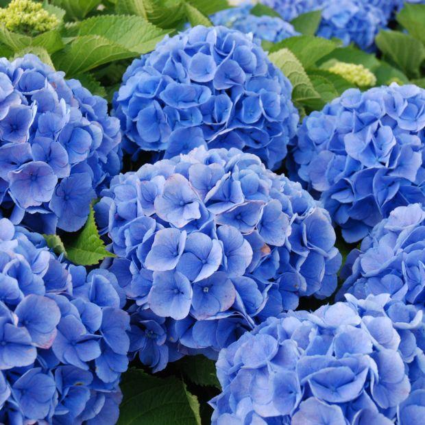 Hortensia 39 bodensee 39 plantes et jardins for Plantes ombre exterieur