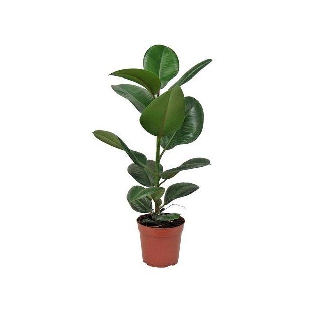 Plante caoutchouc prix for Ficus plante interieur