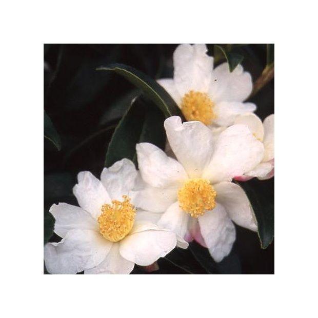 Cam lia d 39 automne 39 survivor 39 plantes et jardins - Plantes fleuries d automne ...