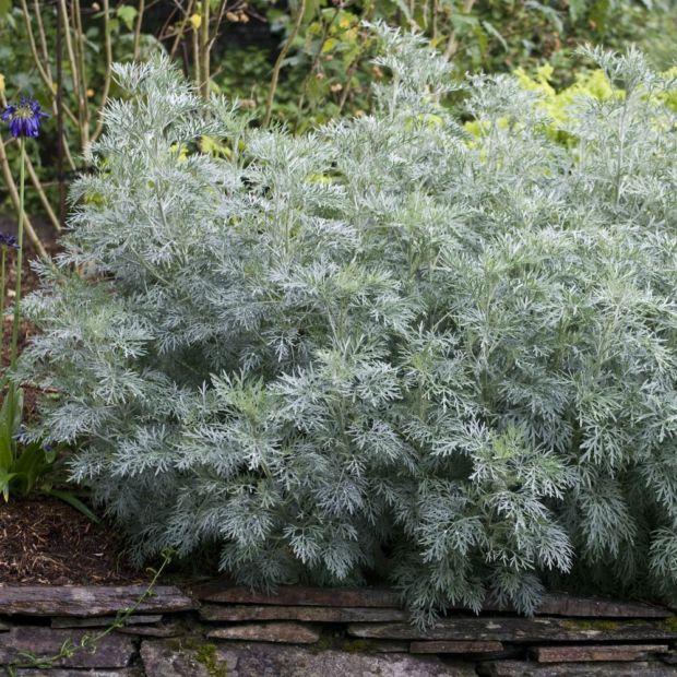 Armoise 39 powis castle 39 plantes et jardins for Plantes de bordures fleuries