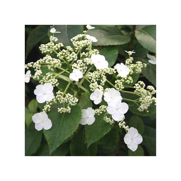 Hortensia grimpant persistant 39 semiola 39 plantes et jardins - Quelle terre pour hortensia ...