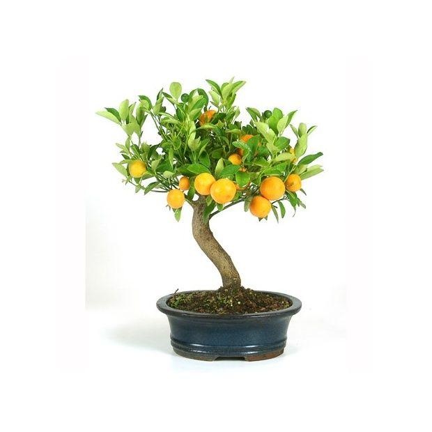 Bonsa d 39 int rieur citrus 10 ans plantes et jardins - Pot decoratif interieur ...