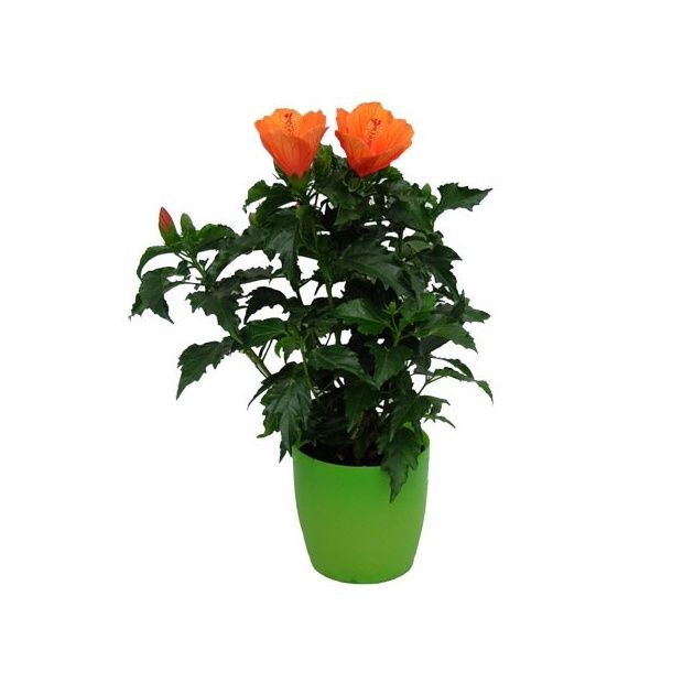 Hibiscus orange cache pot vert plantes et jardins - Hibiscus exterieur en pot ...