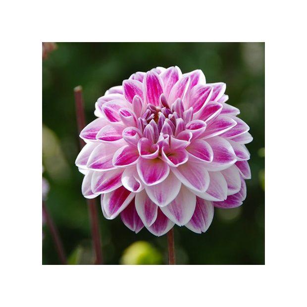 Dahlia buisson 39 fancy 39 lot de 3 plantes et jardins for Buisson synthetique