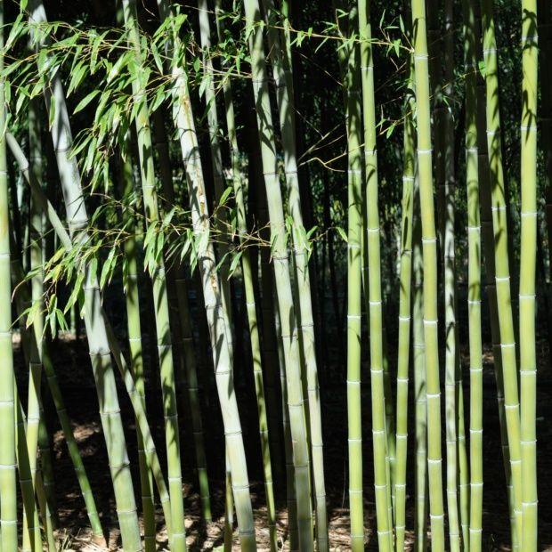 bambou g ant phyllostachys nigra 39 henonis 39 plantes et jardins. Black Bedroom Furniture Sets. Home Design Ideas