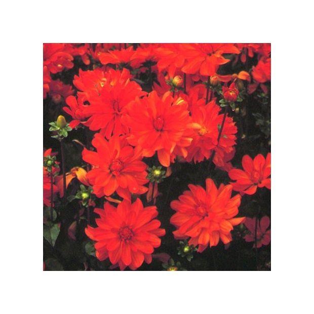 Dahlia buisson 39 tour du monde 39 plantes et jardins for Buisson synthetique