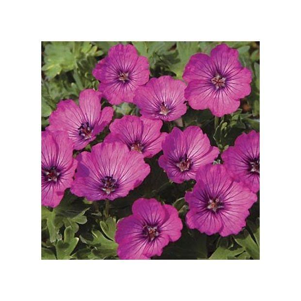 G ranium vivace 39 carol 39 plantes et jardins for Geranium d interieur