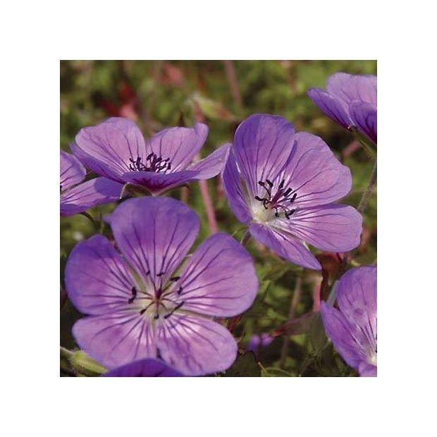 G ranium vivace 39 sweet heidy 39 plantes et jardins for Geranium d interieur
