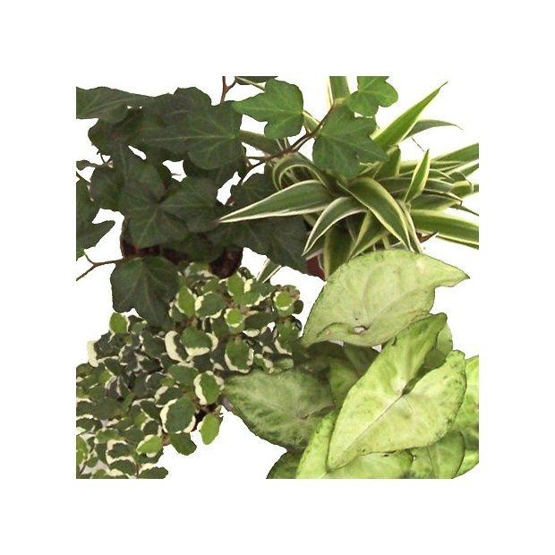 Kit de 4 mini plantes nuance cr me plantes et jardins for Petites plantes vertes