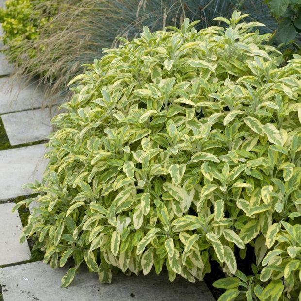 Sauge officinale dor e plantes et jardins for Toutes les plantes vertes